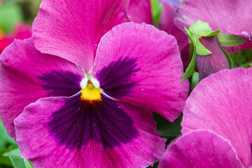 Purple pansies close-up