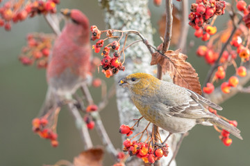 Pine grosbeak, Pinicola enucleator, female bird in front, male out of focus in the background