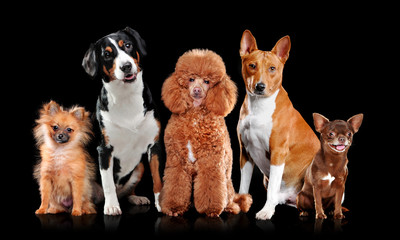 Full length picture of a dogs isolated on black background