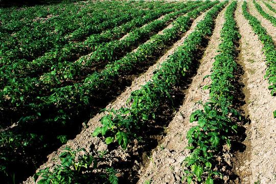 Planting potatoes in Thailand, Potato seedlings, Potato fields,Green leaf potato leaves.