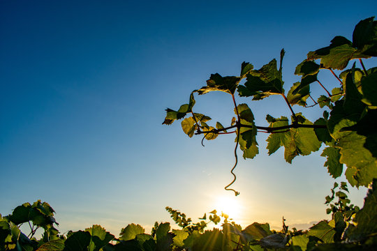 A single tendril of grapevine stands out against a blue sky, afternoon sun glowing behind
