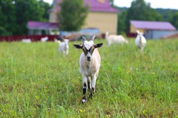 Vivid macro photo of a goat on a green