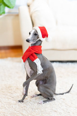 サンタ帽をかぶったイタリアングレイハウンド犬
