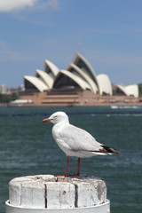 Silver Gull (Chroicocephalus novaehollandiae) in the harbour of Sydney, Australia, with the Sydney Opera House in the background.