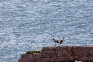 Two White Storks (Ciconia ciconia) sitting on a rock in the sea in the Costa Vicentina natural park at the Atlantic Ocean at the Algarve, Portugal.
