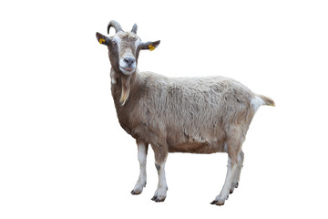 portrait of a goat isolated on white background includding clipping path