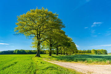 Row of old Oak Trees along Farm Track through Green Fields under blue sky in spring