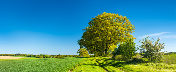 Tree lined Farm Track through Green Fields under blue sky in spring