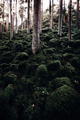 wilderness landscape forest with beech trees and moss on rocks.  environmental conservation