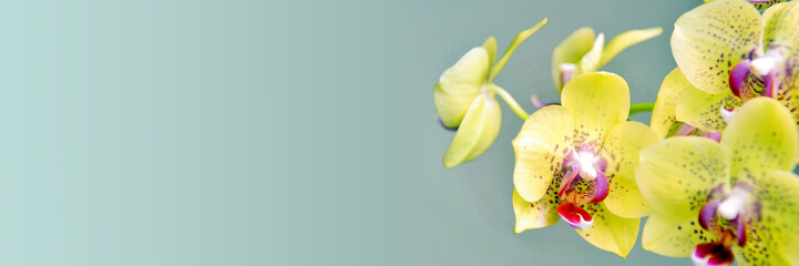 Spoed Foto op Canvas Orchidee Yellow phanalenopsis orchid flower on panoramic background
