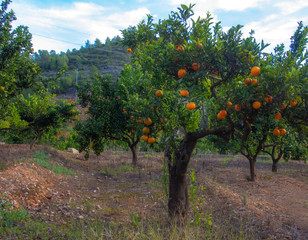 Mandarin or tangerine fruit garden.Spain November