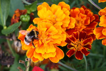 Bumblebee on bright orange flowers macro picture
