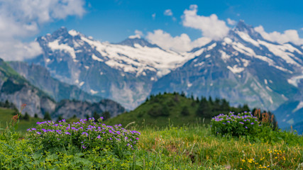 Switzerland, Panoramic view with flowers on green Alps from Schynige Platte