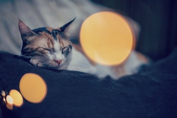 Calico cat sleeping on a brown sofa with christmas lights, close up, animal photography