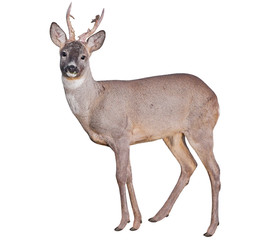 Spoed Fotobehang Ree Male of Roe deer (Capreolus capreolus), isolated on white background