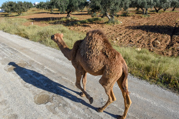 Young camel walking on a street of Sousse in Tunisia