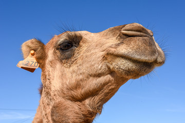 Head of young camel