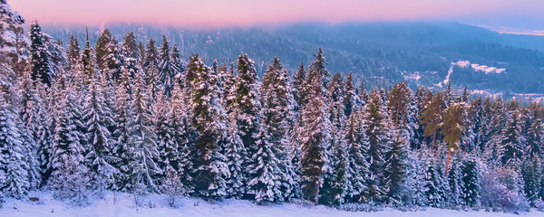 Colorful winter landscape with pink sunset view, pine trees and snow mountains, Pirin, Bulgaria