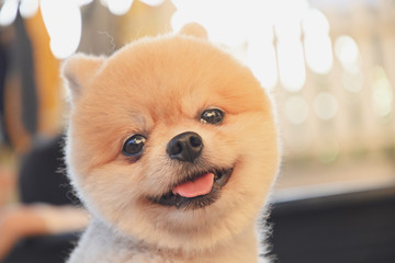 pomeranian dog cute pet happy smiling in the morning