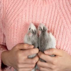 The girl in pink pullover neatly and gently holds two cute gray rats close up.