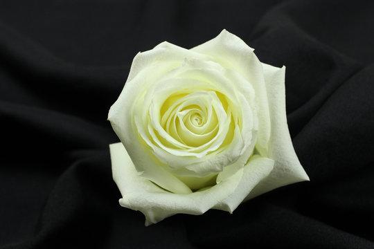 Beautiful single white rose on black background