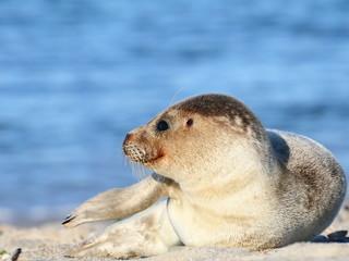 Seehund am Strand, Nordsee