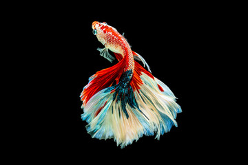 Foto op Plexiglas Vissen The moving moment beautiful of red and white siamese betta fish or fancy betta splendens fighting fish in thailand on black background. Thailand called Pla-kad or half moon biting fish.