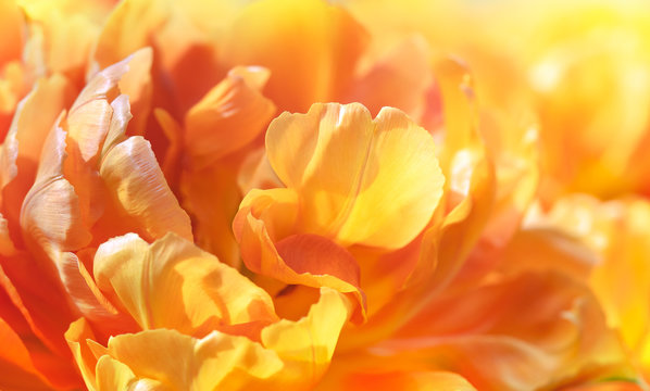 Abstract background of flower texture - yellow petals of tulip, closeup. Golden tulip in sunlight as floral decor for presentation of natural cosmetics, perfume or fashion accessories collection.