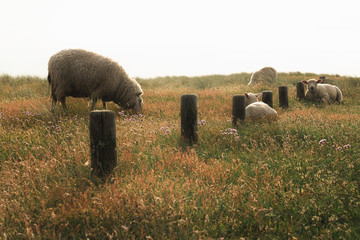 Sheep and lambs on flowery pasture on Sylt island. Spring scenery