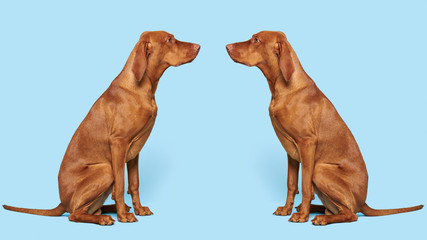 2 gorgeous hungarian vizslas sitting opposite each other studio portrait. Full body side view hunting dogs over blue background.
