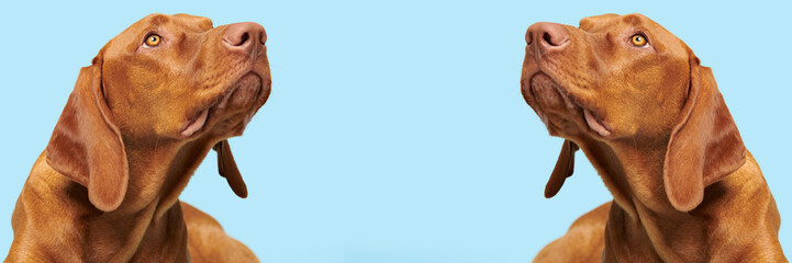 Cute hungarian vizsla puppy studio portrait. Dog looking up headshot over blue background banner.