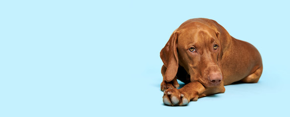 Cute hungarian vizsla puppy studio portrait. Dog lying down and looking at the camera over blue background banner.