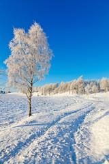 Snowy Birch tree