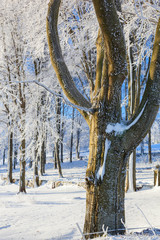 Tree with hoarfrost