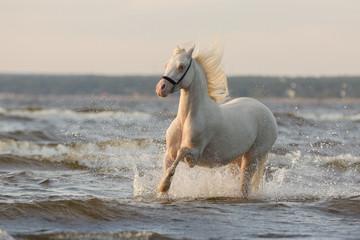 A beautiful white horse with a long mane runs along the sea edge among the waves