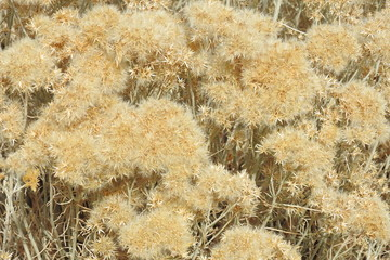 Autumn color of the Rubber rabbitbrush growing in the Eastern, Sierra Nevada, California.