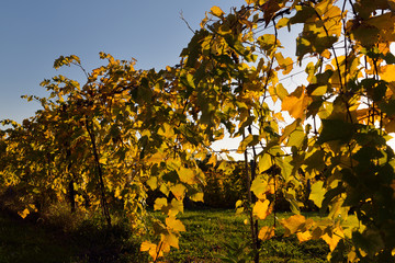 White wine grape vine after harvest with golden setting sun in Fall Fototapete