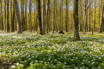Beautiful wood anemone, spring flowers in the beech forest - wood anemone, windflower, thimbleweed, smell fox - Anemone nemorosa - in Larvik, Norway