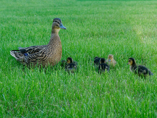 mother Duck with her ducklings on the grass