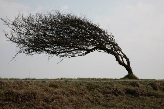 weathered tree blown to side by wind