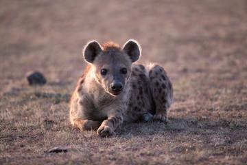 Garden Poster Hyena Hyena