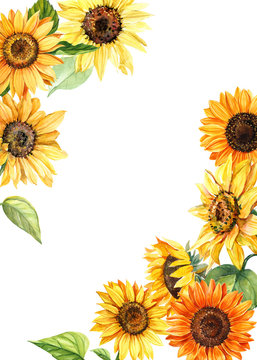sunflowers on an isolated white background, watercolor illustration, botanical painting