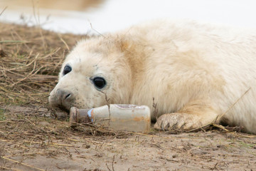 A grey seal pup is pictured with a glass bottle at the Donna Nook Nature Reserve in Lincolnshire