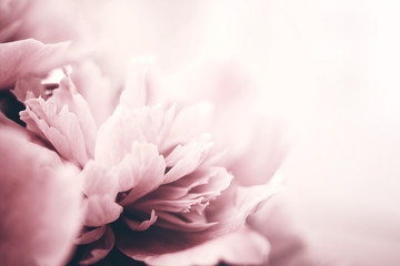 Fotobehang Bloemen Peony flowers close-up, soft focus. Gentle floral background