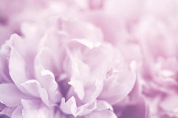 Pink peony flowers close-up, soft focus. Gentle floral background