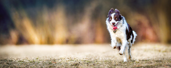Foto op Canvas Hond Young border collie dog is happy and jumping on meadow. Dogs wide banner or panorama, copy space concept.