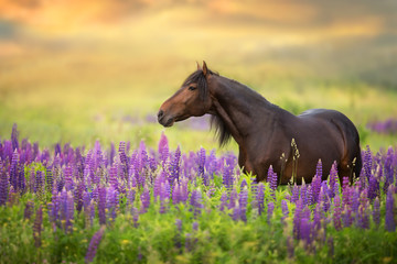Bay stallion with long mane in lupine flowers at sunset Papier Peint