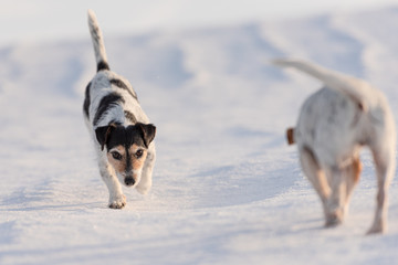 Two cute little  Jack Russell Terriers dogs 12 and 9 years old sniffing on a snowy meadow in winter in front of blue sky and follows a trail.