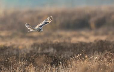Poster de jardin Oiseau Short eared owl