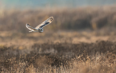 Printed roller blinds Bird Short eared owl